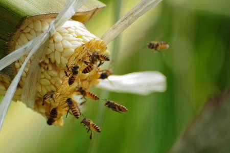 Le api prendono il nettare dalla palma