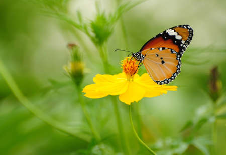 Butterfly on yellow Cosmos flower photo