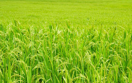 crop  stalks: Green rice field in Thailand Stock Photo