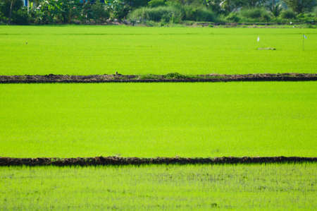 campo di riso verde in Thailandia Archivio Fotografico