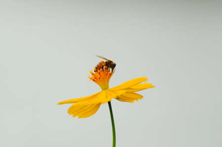 yellow stamens: bee on yellow Cosmos flower