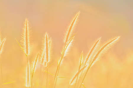 grass flower and sunlight Stock Photo - 10645027