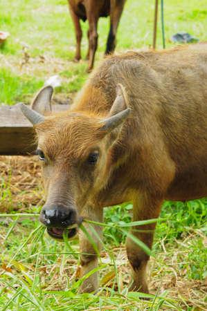 little buffalo photo