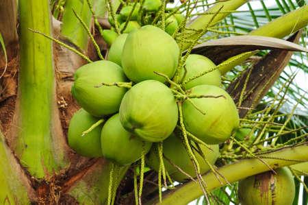 di cocco su albero