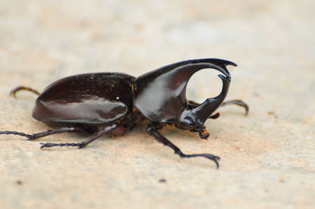 Hercules beetle, the  warrior of scarab