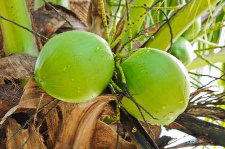 noce di cocco verde su albero