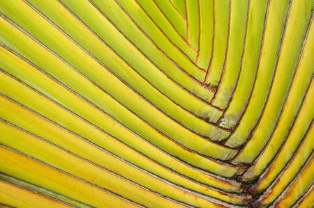 Texture of ornamental banana leaves photo