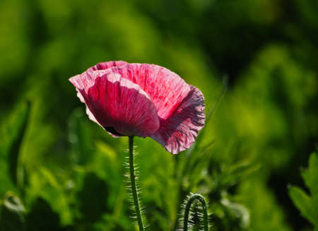 pimk poppy and green background photo