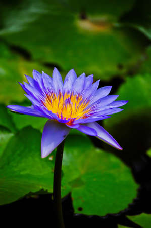 beautiful purple lotus photo