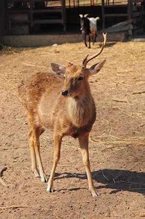 fawn: Deer had broken