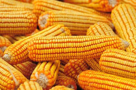 closeup of Dried corn Stock Photo