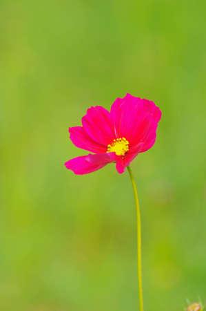 Beautiful Cosmos flowers Stock Photo