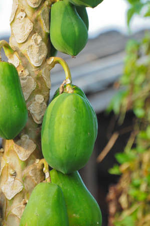 Bunch of papayas hanging from the tree Stock Photo