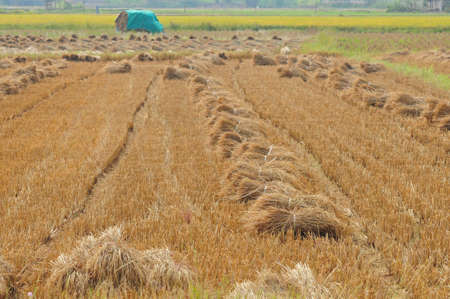 after harvest in Thailand