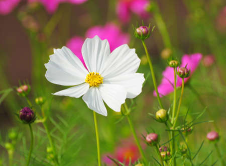 country life: Beautiful Cosmos flowers Stock Photo