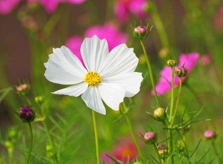 Schöne Kosmos-Blumen