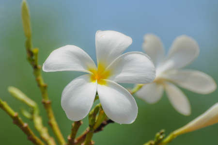 plumeria flower Stock Photo - 13242918
