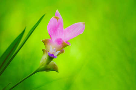 siam Tulip Flower in Thailand photo
