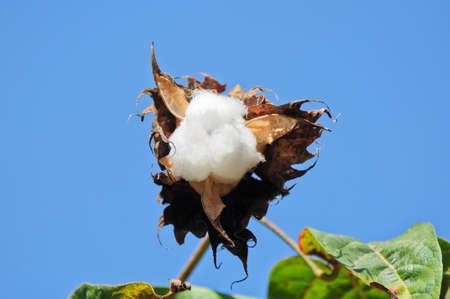 cotton flower in thailand Stock Photo - 13242954