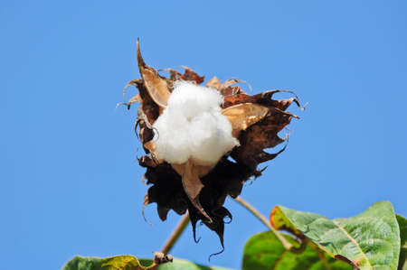 cotton flower in thailand Stock Photo - 13242954