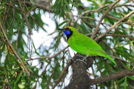Bird in Thailand  Golden fronted Leafbird