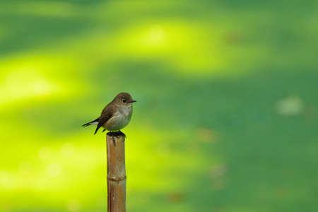 Bird in Thailand  asian brown flycatcher