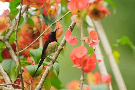 Bird in Thailand  Gould
