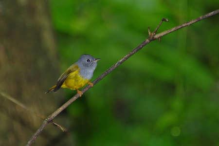 Bird in Thailand  Grey headed Canary flycatcher
