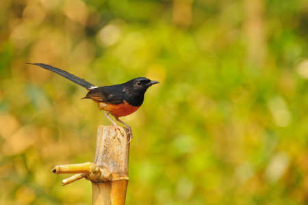 Bird in Thailand  White-rumped Shama  Stock Photo