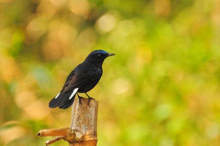 Bird in Thailand  White-tailed Robin