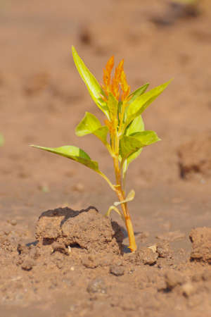 Young plant
