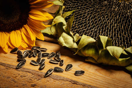 big and delicious sunflower on an old wooden table on a black background Standard-Bild