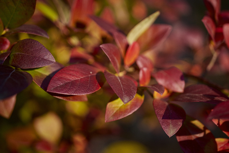 Beautiful dark red leaves in sunny forest Stock Photo