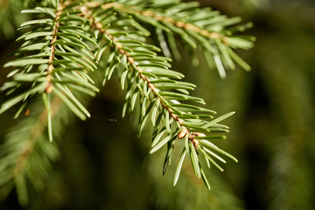 Close up of sprigs of spruce in spring sunny forest Stock Photo