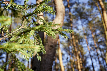 Close up of green sprigs of spruce against the sky in beautiful sunny forest Stock Photo