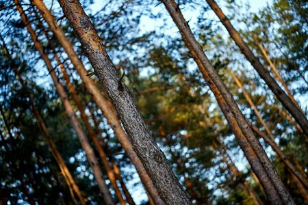 Diagonal view of coniferous tree trunks on summer day in forest Stock Photo