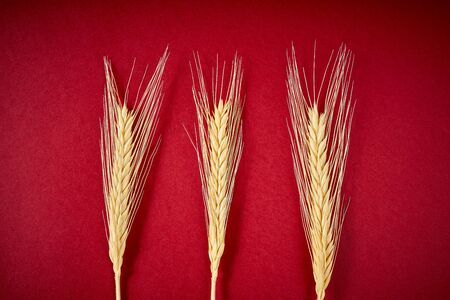 yellow rye ears on a dark red background Banco de Imagens