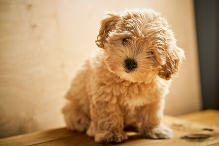 Adorable little beige puppy sits on wooden table