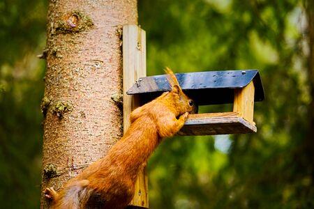 squirrel eats seeds from a bird feeder on a tree Standard-Bild - 149154150