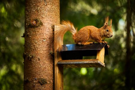 squirrel eats seeds from a bird feeder on a tree Standard-Bild - 149155047