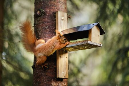 squirrel eats seeds from a bird feeder on a tree Standard-Bild - 149155485