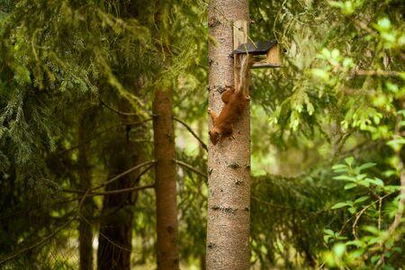 squirrel eats seeds from a bird feeder on a tree Standard-Bild - 149155403