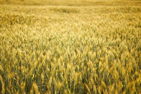 beautiful golden rye field at sunset in summer