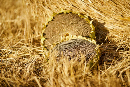 two large sunflowers in the rye field in summer Banco de Imagens