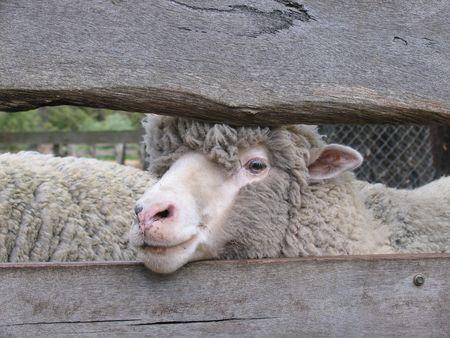 Merino sheep Stock Photo - 3415870