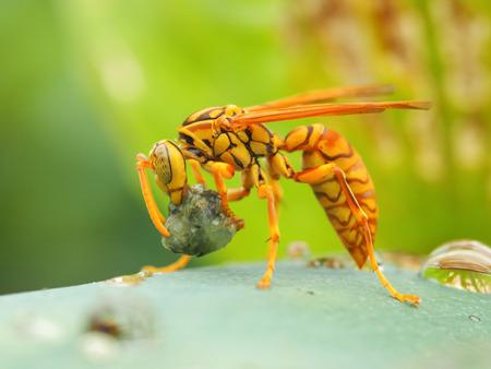 avispa: escena de la depredación de la avispa Foto de archivo