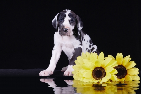 great dane harlequin: Harlequin great dane puppy with sunflowers on black background