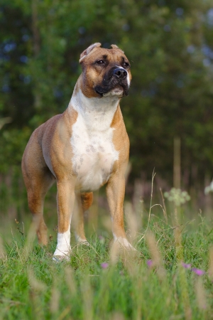 american staffordshire terrier: American Staffordshire Terrier on a summer meadow