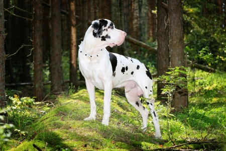 Harlequin great dane in the summer forest