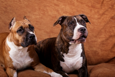brindle: Fawn   brindle american staffordshire terriers at home